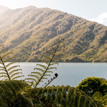 Beautiful native bush is found along the coastline of the Marlborough Sounds and throughout Punga Cove in New Zealand's top of the South Island